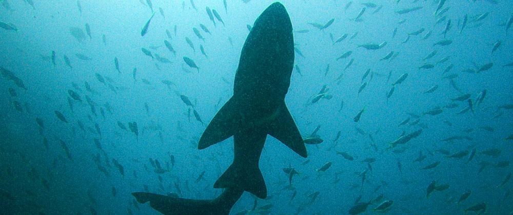 Haie und Mantas